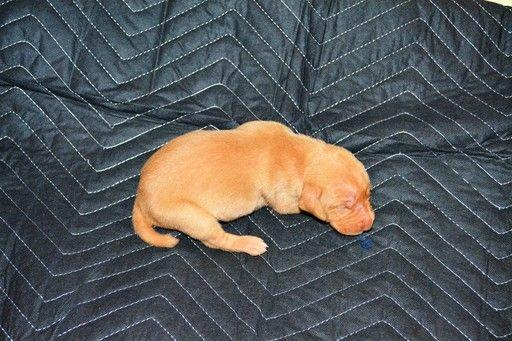 Litter Of 9 Vizsla Weimaraner Mix Puppies For Sale In Millbrook