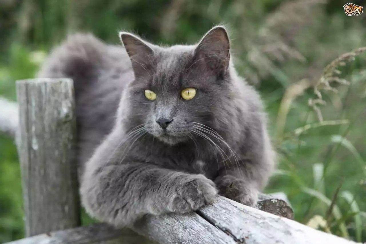 Russian Blue Cats Long Hair In 2020 Nebelung Cat Russian Blue