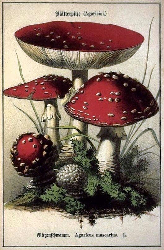 Toadstools - Agaricus muscarius | Public Domain Images in ...