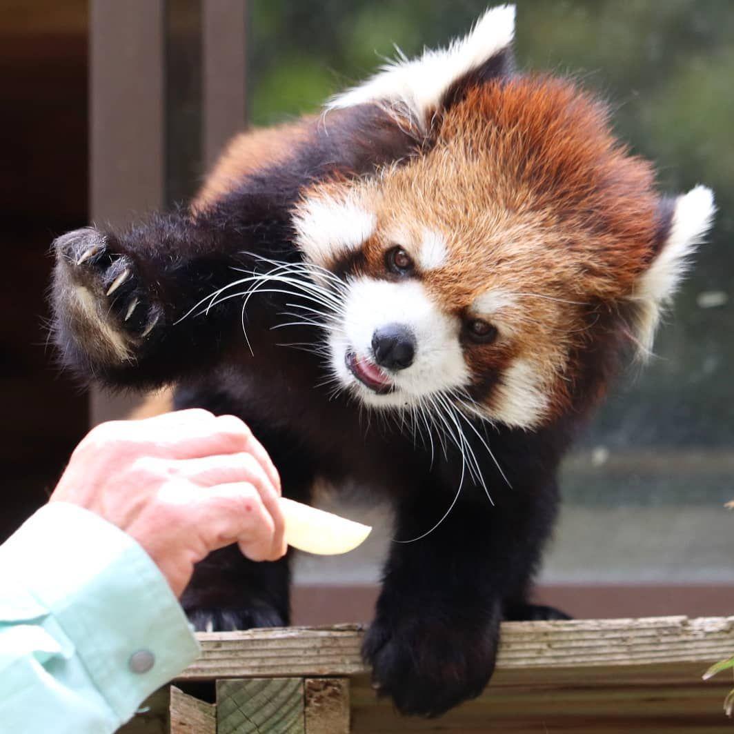 レッサーパンダ ライムくん 千葉市動物公園 ライム 2018年5月撮影 レッサーパンダ Redpanda 千葉市動物公園 Red Panda Panda Animals