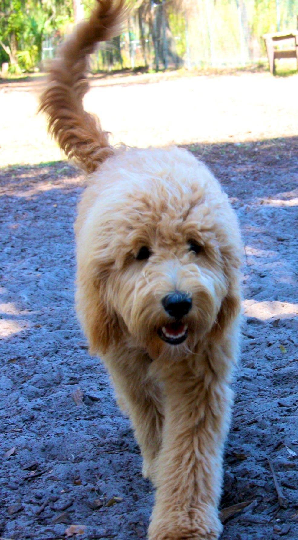 Goldendoodle Dog Breeders Goldendoodle Puppies For Sale