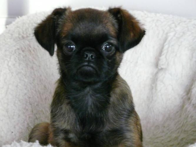 Here Is Another Smooth Coated Brussels Griffon They Have A Face