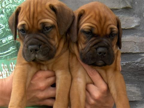 Boxer pups!! Is there anything cuter!? boxerpups Bull