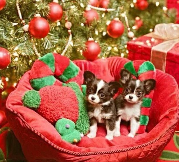 how much longer till christmas its just exhausting having to be good aye chihuahua hidy holidays pinterest exhausted - How Much Longer Till Christmas