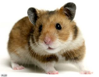 Hamsters Lifespan and illness. Take CARE of your animals