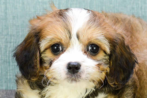 Cavachon Puppies For sale in Ohio Columbus, Dayton, Toledo