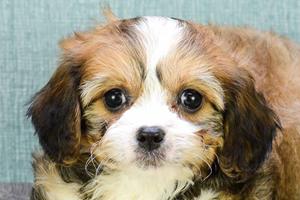 Cavachon Puppies For sale in Ohio Columbus, Dayton, Toledo