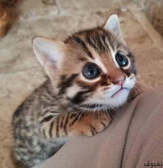 صور قطط صغيرة أجمل صور القطط الصغيرة في غاية الجمال بفبوف Kittens Cutest Cute Cats And Kittens Cute Animals