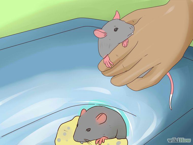 Take The Stress Out Of Bathing Your Pet Rat Pet Rats Pet Mice Pets
