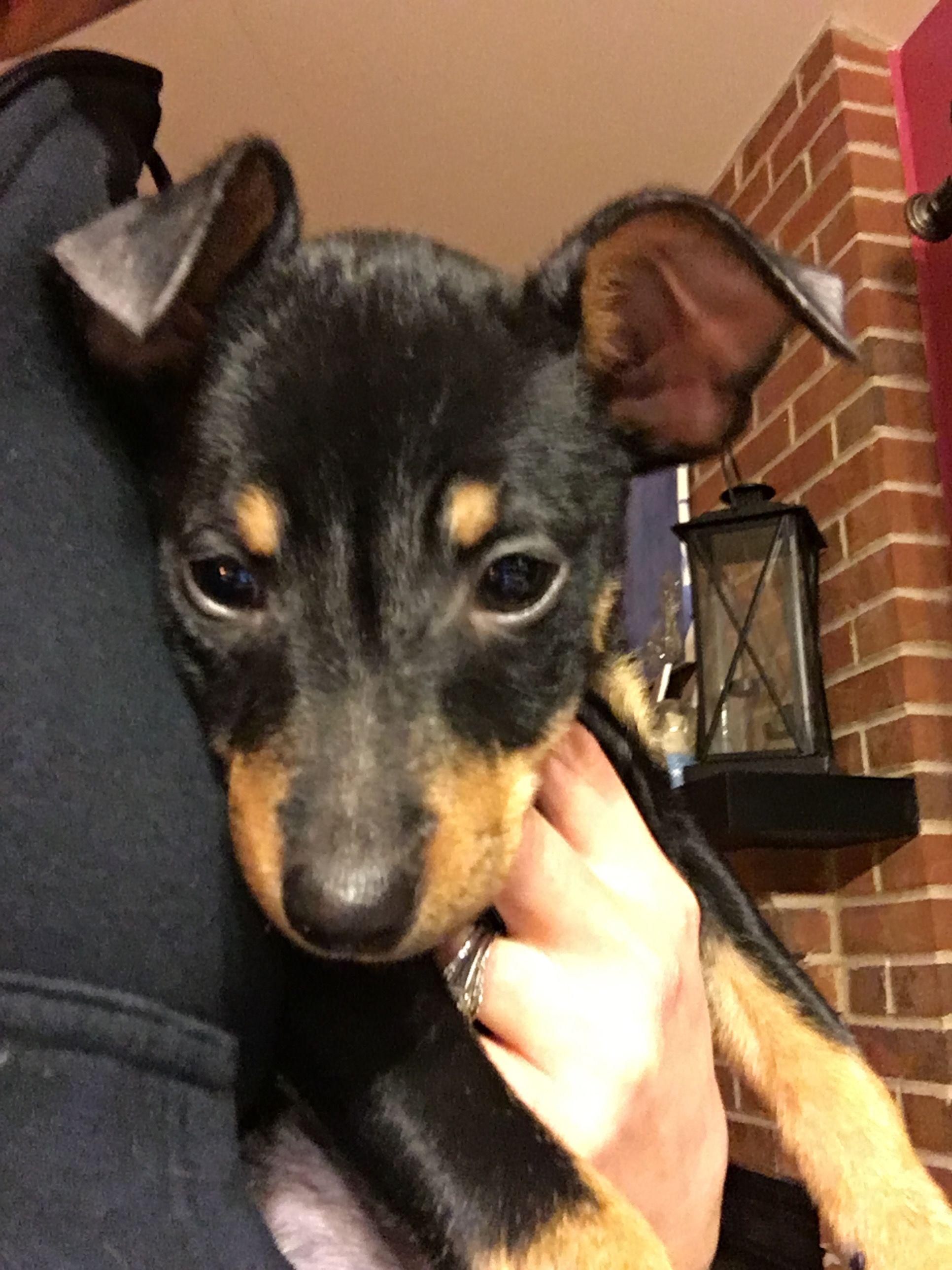 Chiweenie dog for Adoption in Round Lake Beach, IL. ADN