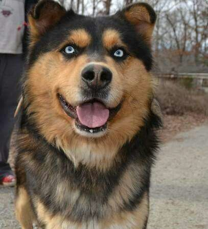 Chow And German Sheperd Pesquisa Google Dog Crossbreeds Dogs
