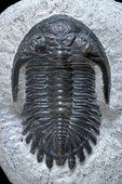 TRILOBITE fossil - (Metacanthina barrandei) from around 416 - 360 million years ago in its host rock. They are extinct hard-shelled, segmented arthropods that lived in ancient seas, considered one of Earth's earliest, complex life-forms and are one of the most well-known creatures of the Palaeozoic Era. Trilobites existed between the Cambrian and Permian periods around 542-250 million years ago, and were mainly bottom-feeding, scavengers. ~ HERVE CONGE, ISM /SCIENCE PHOTO LIBRARY