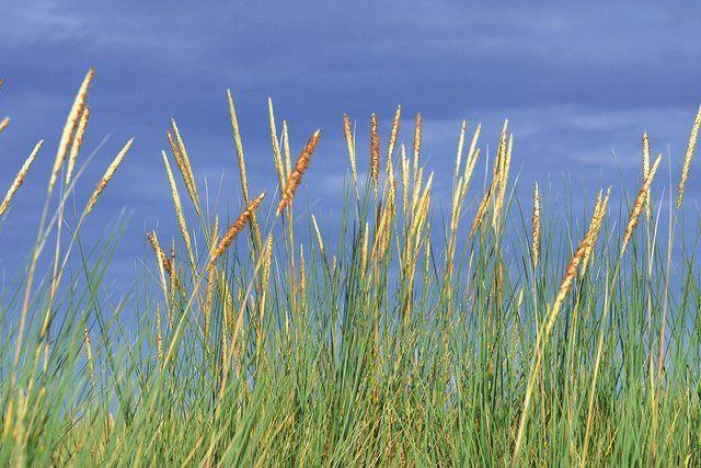 Wandfolie »S. Herppich: Strandhafer im Sommer« #naturallandmarks