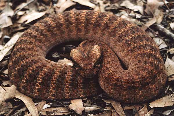 Death Adder do snakes die after drinking milk