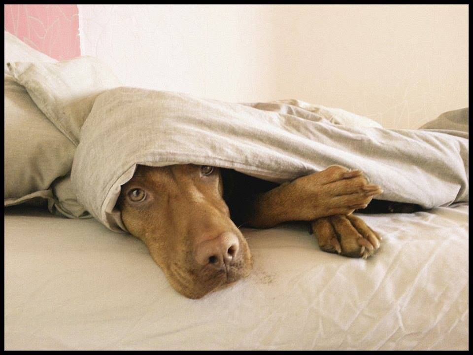 Vizslas Love To Sleep Under The Covers Well Mine Do Lol Vizsla Dogs Vizsla Puppy Time