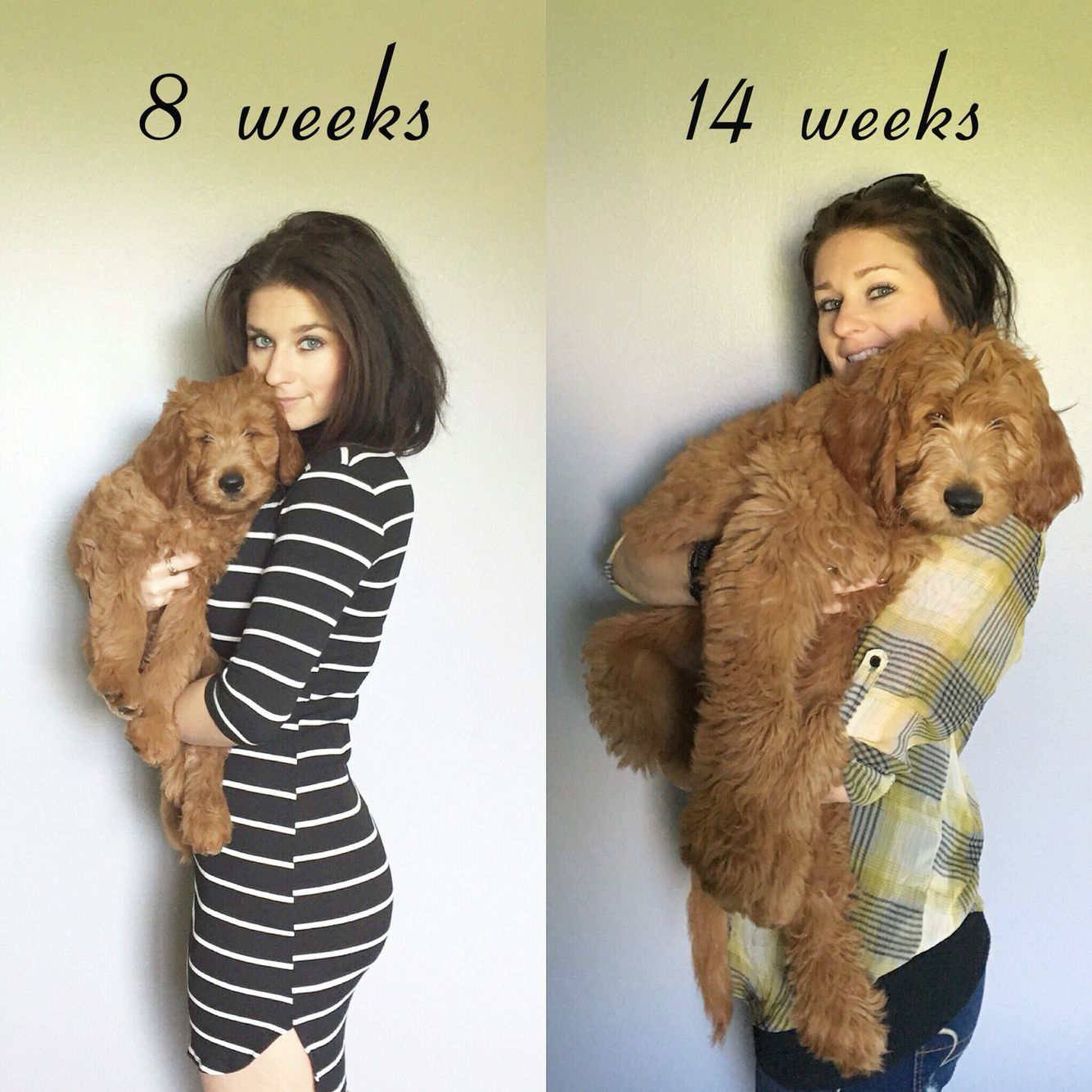 F1 Goldendoodle pup difference from 8 to 14 weeks. This