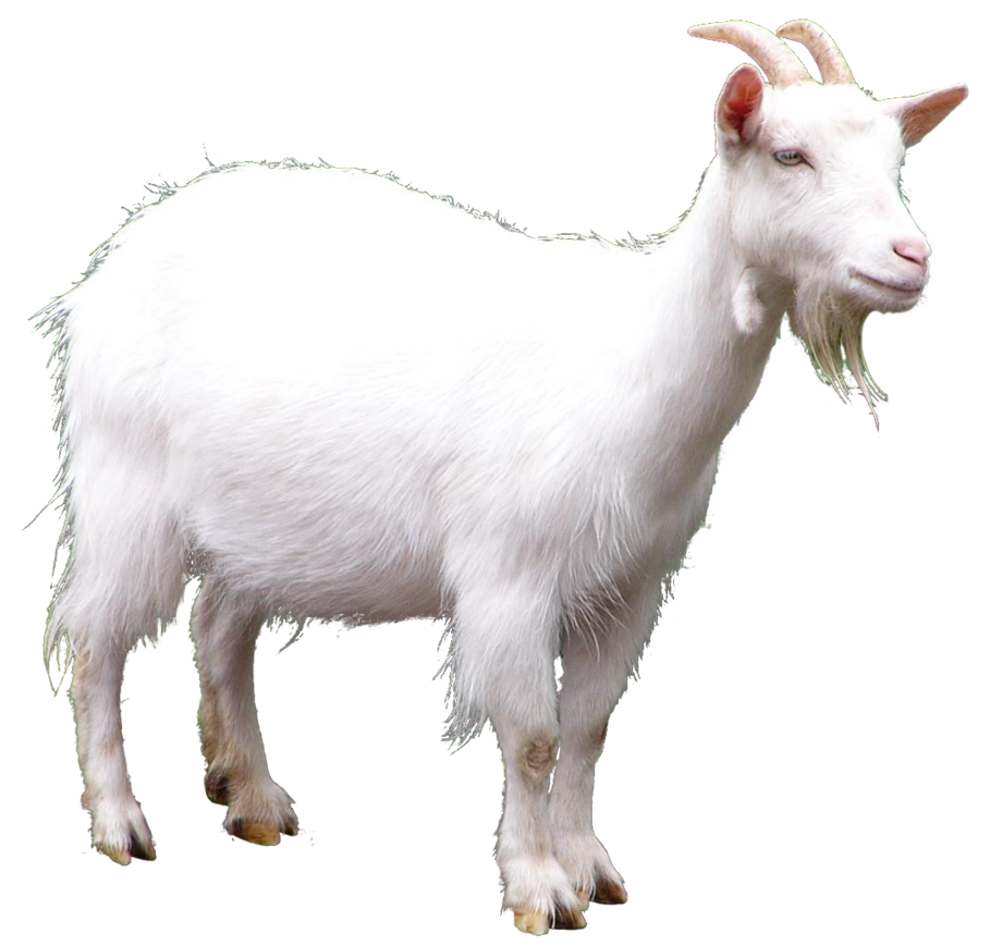 White Goat Png Image Goats Animals Png