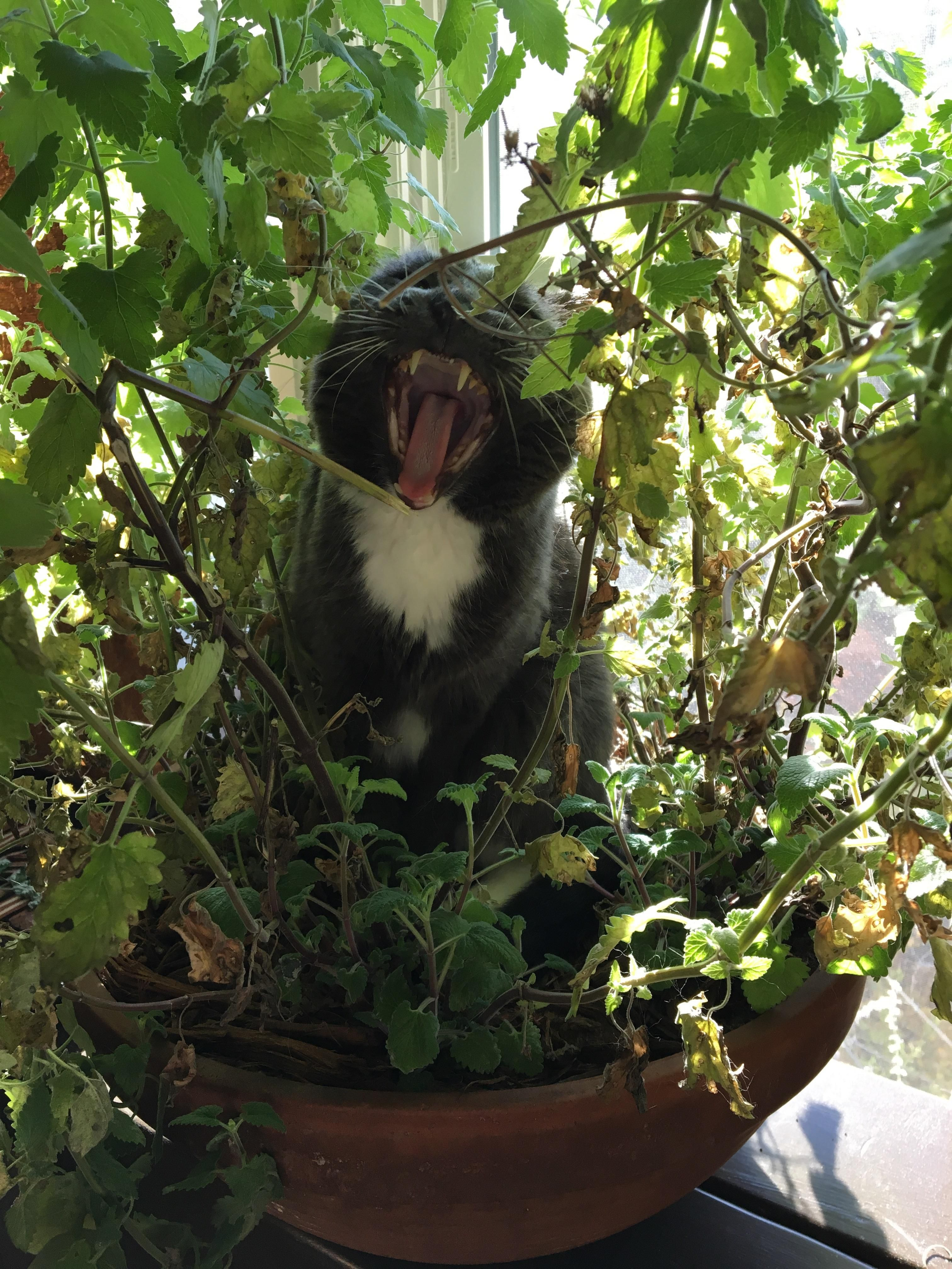 My dad grew his cat a catnip plant. (Có hình ảnh)