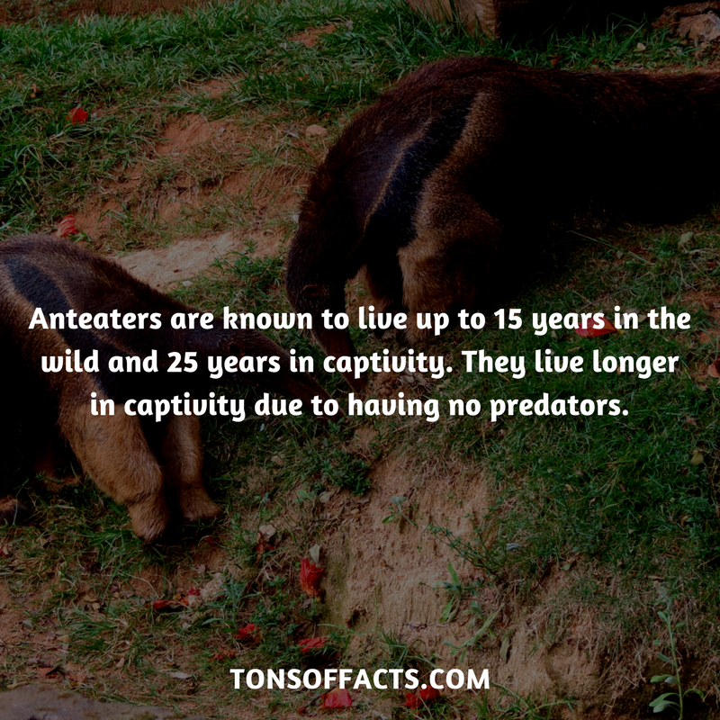 Anteaters are known to live up to 15 years in the wild and