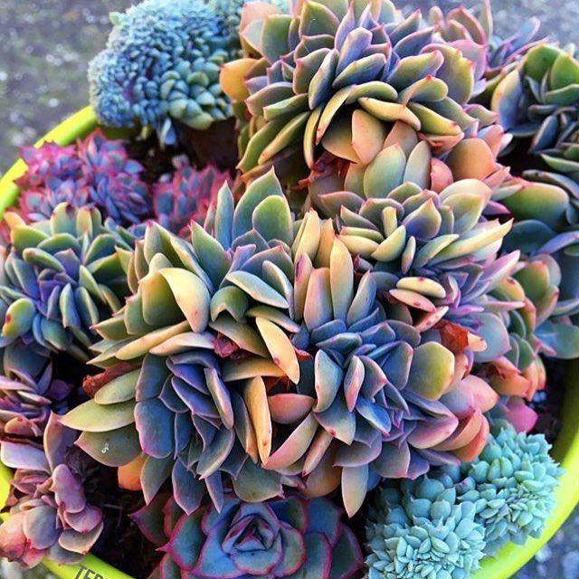 Succulents Online