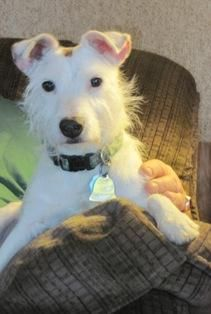 Get To Know Jack Russell Terrier Rescue With Images Terrier