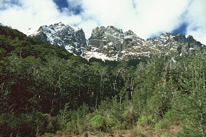 Mountain beech grows up to the treeline at altitudes of around 1,000 metres in the south of the South Island. This stand is in Grebe valley, Fiordland National Park.