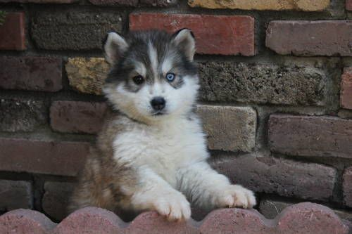 Adorable Malamute Husky Puppy It S Still Cute Even With The