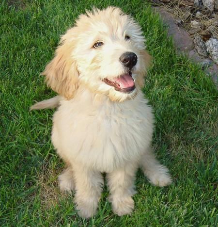 Sir Gordon The Mini Goldendoodle Goldendoodle Puppy For Sale Goldendoodle Puppy Mini Goldendoodle
