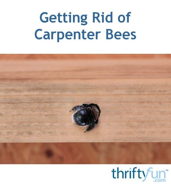 Getting Rid Of Carpenter Bees Carpenter Bee Wood Boring Bees Bee Traps