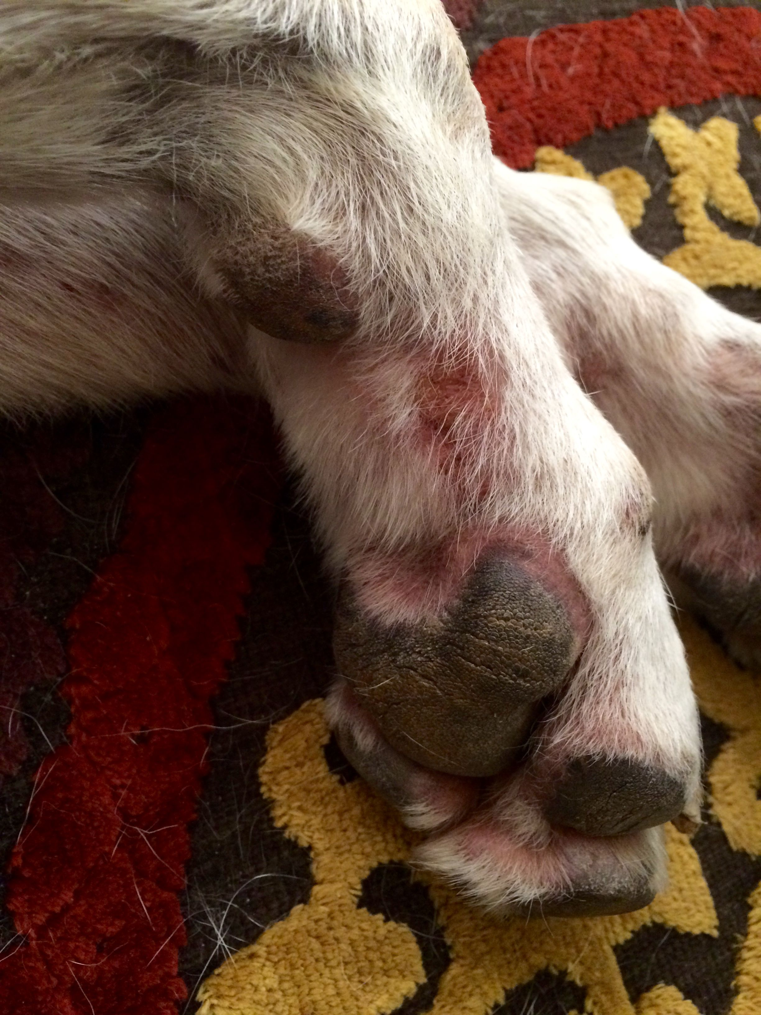 Holistic Remedies For Treating Hot Spots And Dog Allergies From A Holistic Vet In Phoenix B Dog Allergies Dog Remedies Itchy Dog