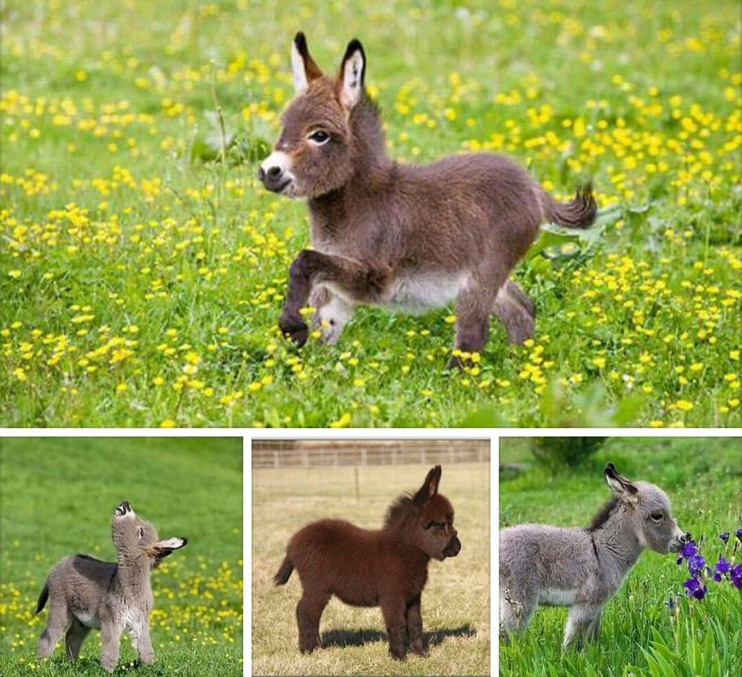 Dwarf Donkey Baby Animals Cute Animals Baby Donkey