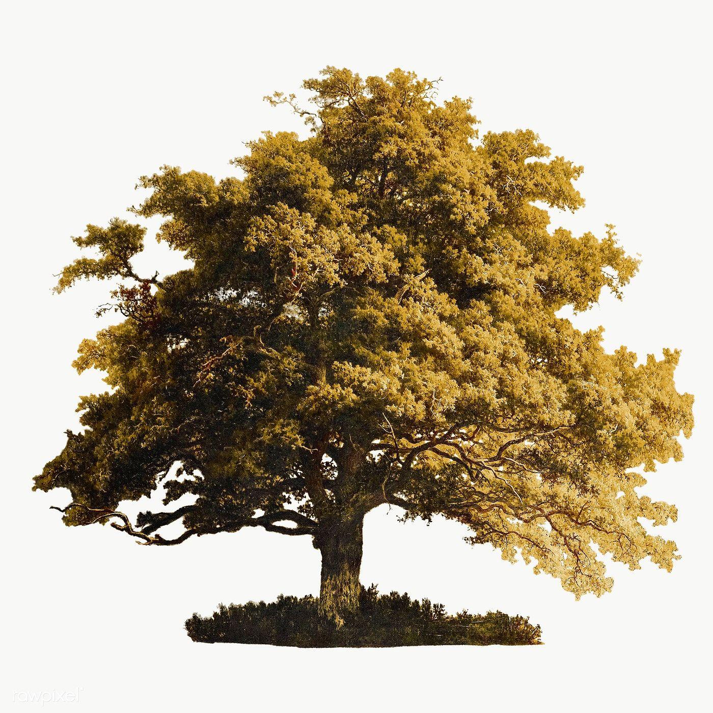 Vintage Oak Tree Illustration Transparent Png Premium Image By Rawpixel Com Eyeeyeview