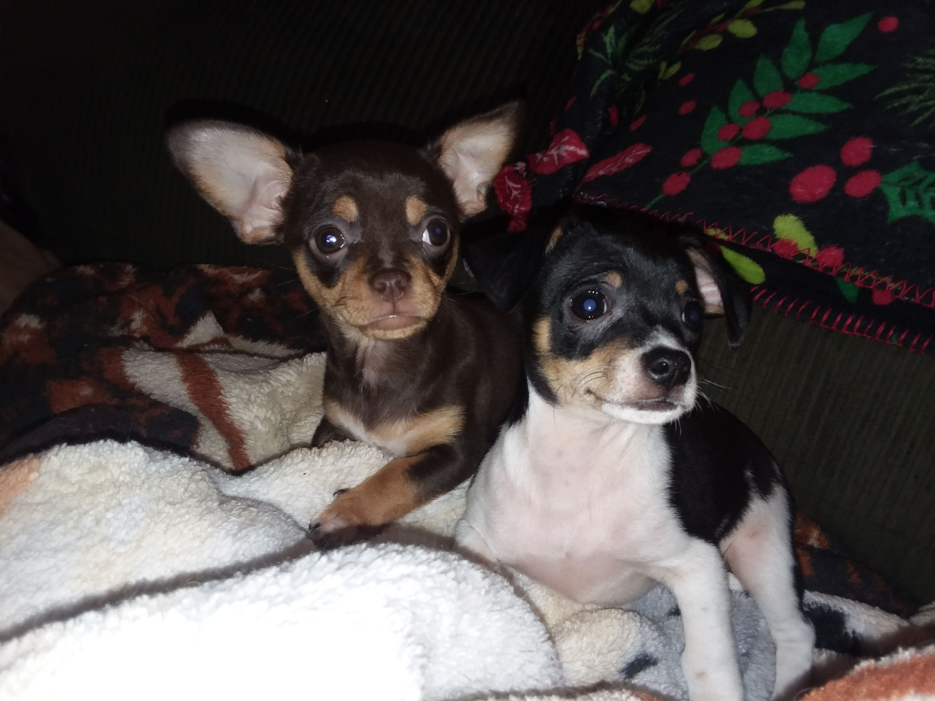 Chihuahua Dog For Adoption In Iroquois Il Adn 816085 On
