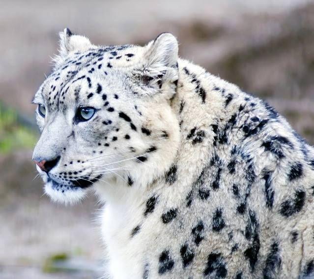 pantera de las nieves - Cerca amb Google