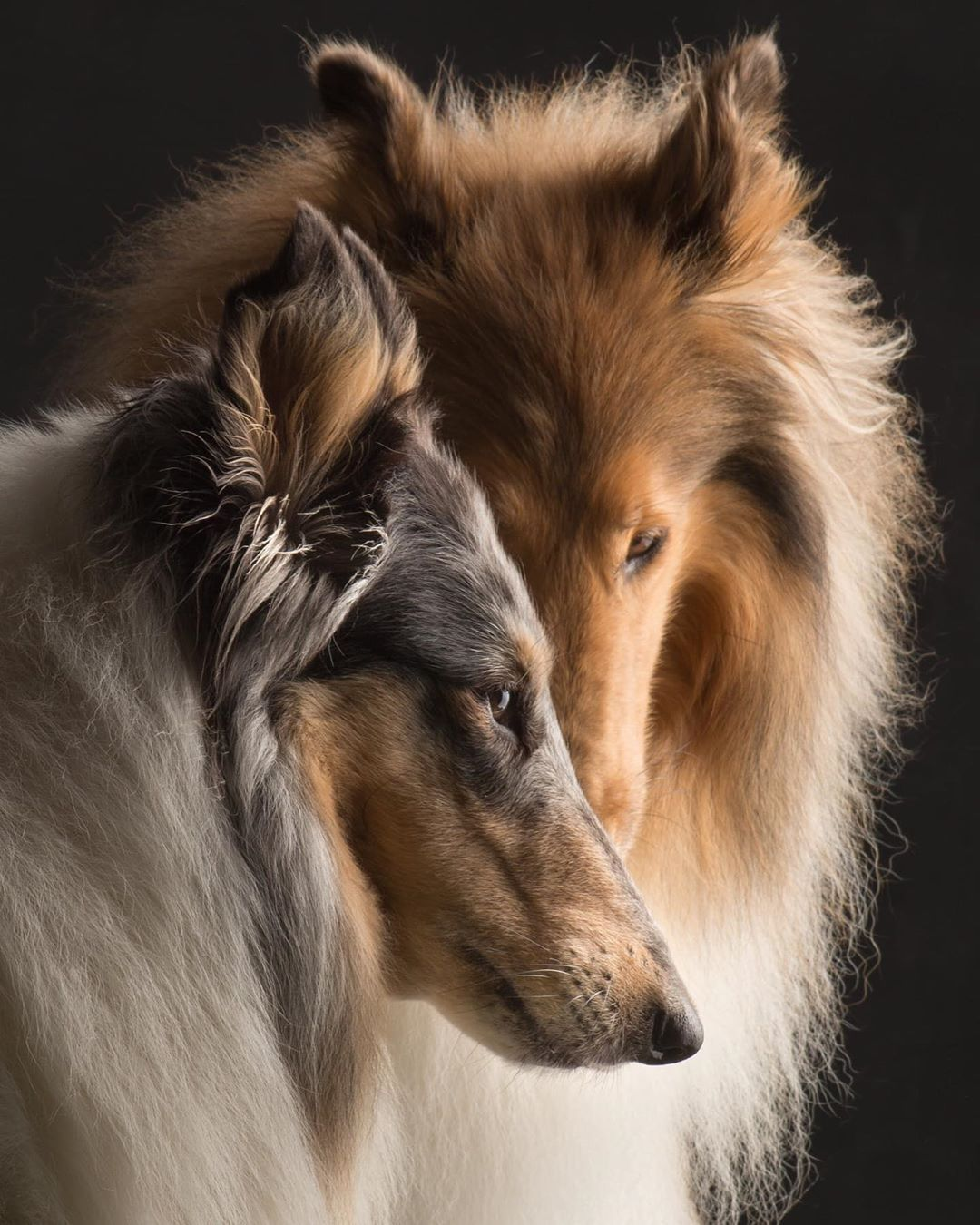 Beautiful Dog Photograph Rough Collie Collie Puppies
