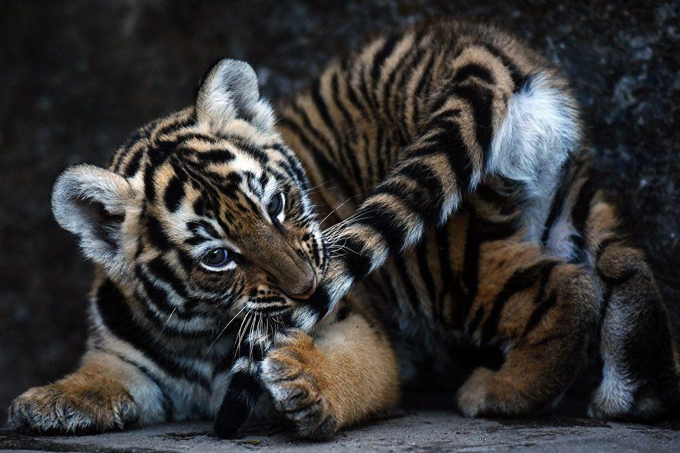 красивые картинки маленьких тигрят прекрасная