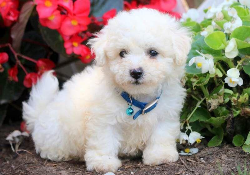 Miles Bichon Frise Puppy Bichon Frise Puppies For Sale