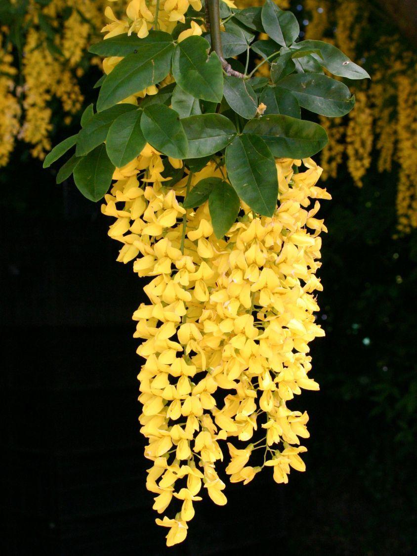Goldregen Laburnum Plants Backyard Garden