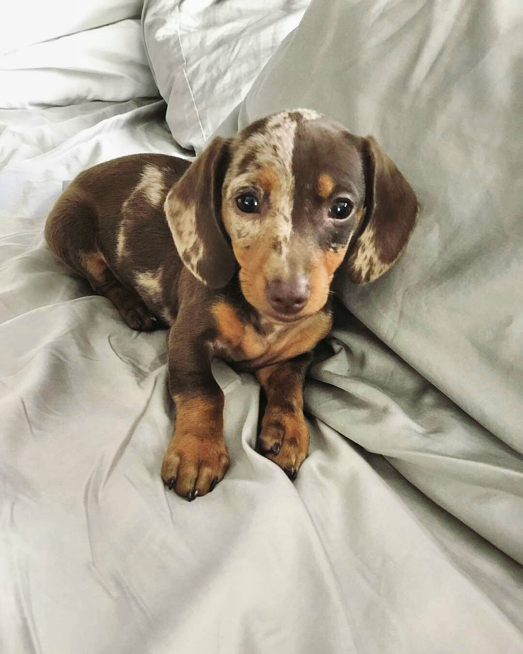 22 7k Likes 323 Comments Dachshund World Thedoxieworld On
