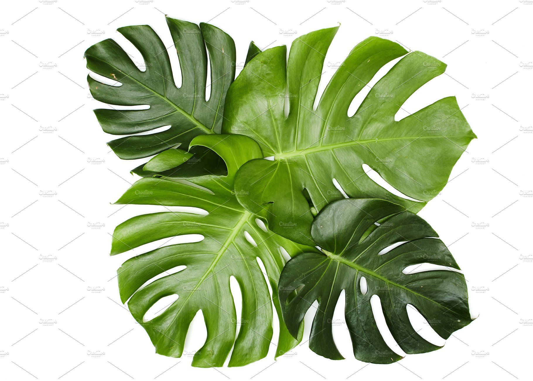 Monstera Leaves On White Background Tree Photoshop Trees Top View Architecture Collage