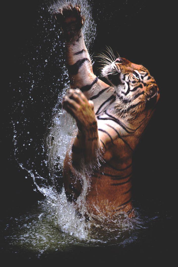 4K tiger jump iPhone Wallpapers   Majestätische tiere ...