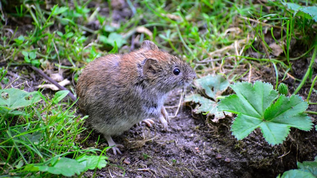 7bb9926c071387a2999888f3c2615b12 - How To Get Rid Of Voles Without Killing Them