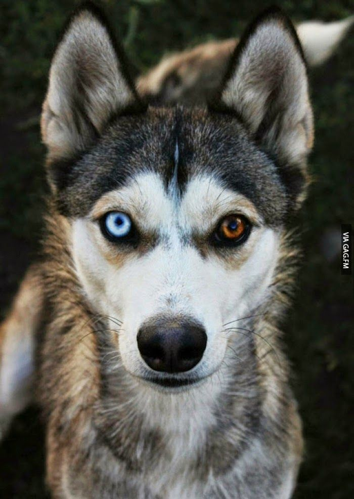 White Wolf 20 Striking Photos Of Huskies With Different Colored