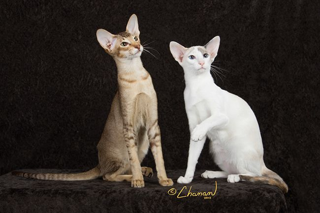 Two Of Our Compass Rose Cattery Oriental Shorthairs Oriental Shorthair Kittens Who Live With Their New Mom Oriental Shorthair Oriental Cat Breeds Oriental Cat