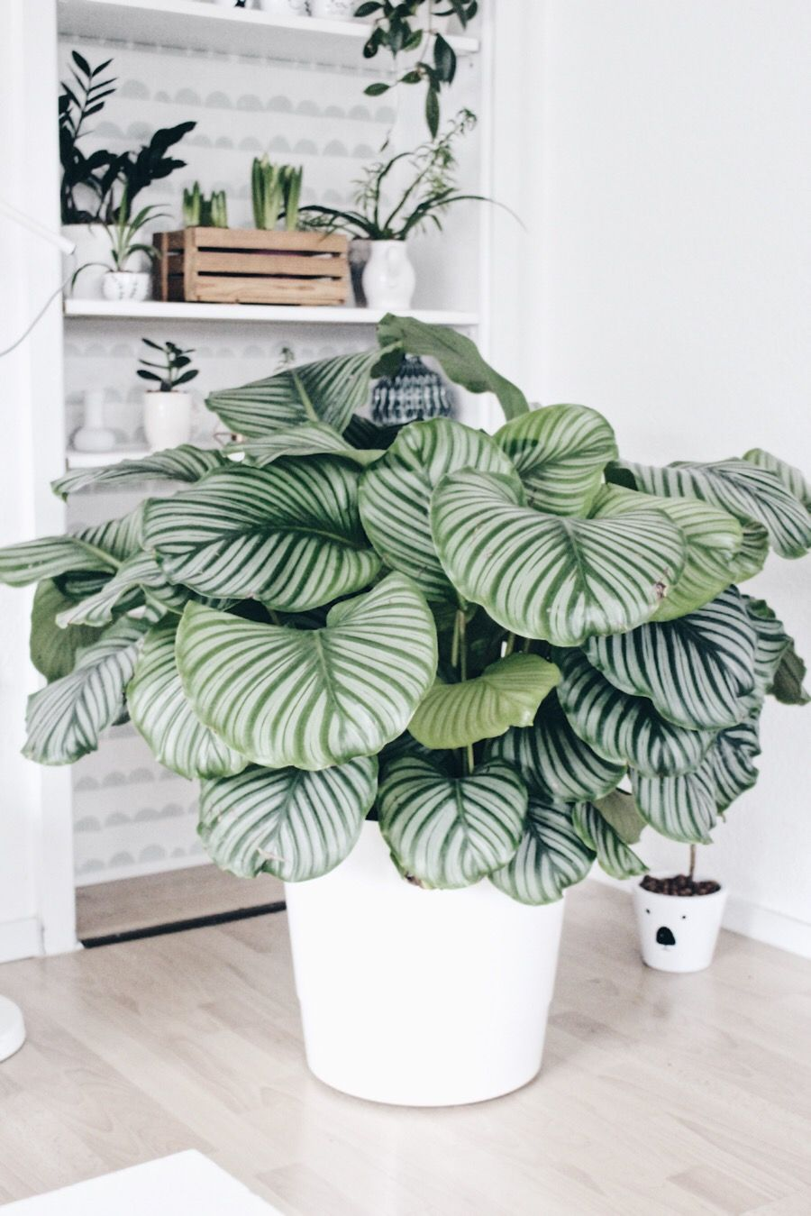 calathea die sch nheit aus dem urwald en 2018 details details pinterest plantes. Black Bedroom Furniture Sets. Home Design Ideas