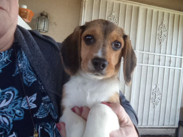 Beagle puppy for sale in FRESNO, CA. ADN71742 on