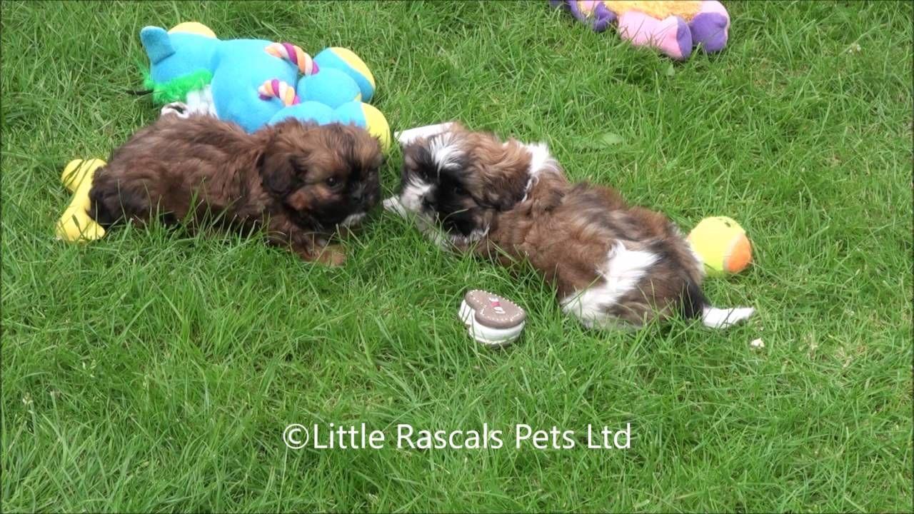 Little Rascals Uk breeders New litter of Cava tzu - Puppies