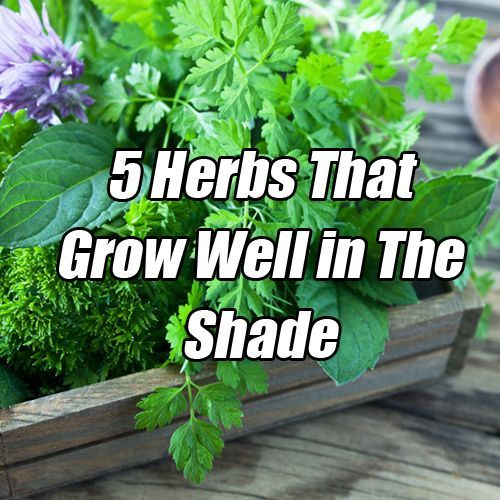 Shade Plants That Repel Mosquitos