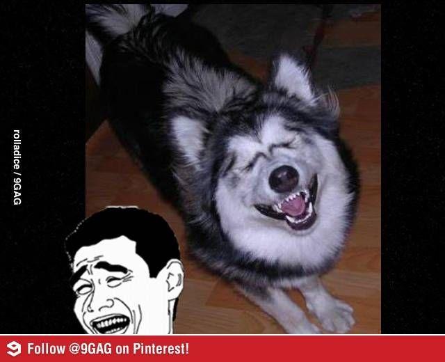 Husky Frases: Husky Memes