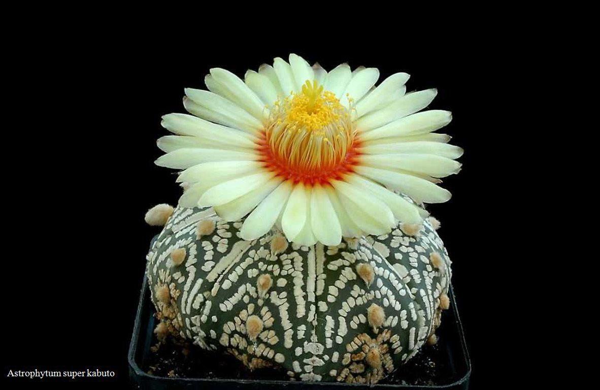 Astrophytum super kabuto